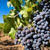 grape-1133199_640